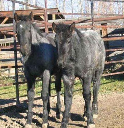PMU Foals Before Rescue